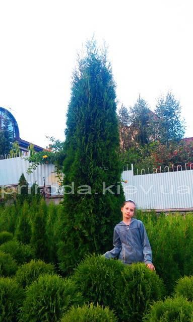 Туя западная колоновидная Колумна (Thuja occidentalis Columna) ФОТО Питомник растений Природа Priroda (21)
