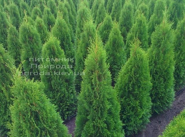Туя західна Смарагд (Thuja occidentalis Smaragd) ФОТО Розплідник рослин Природа Priroda (22)
