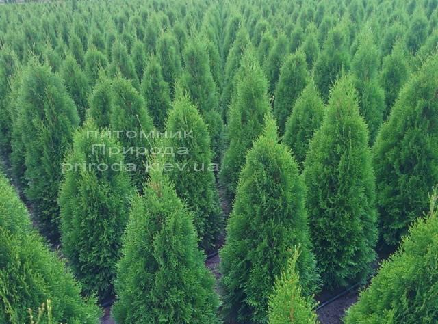 Туя західна Смарагд (Thuja occidentalis Smaragd) ФОТО Розплідник рослин Природа Priroda (23)