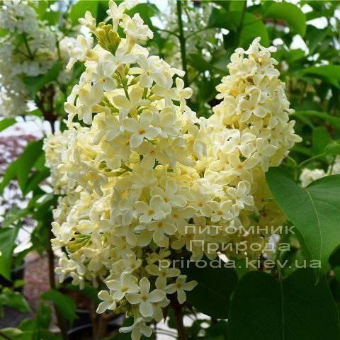 Сирень обыкновенная Праймроуз ( Syringa vulgaris Primrose) ФОТО Питомник растений Природа Priroda (2)