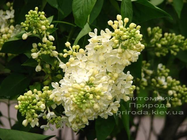 Сирень обыкновенная Праймроуз ( Syringa vulgaris Primrose) ФОТО Питомник растений Природа Priroda (3)