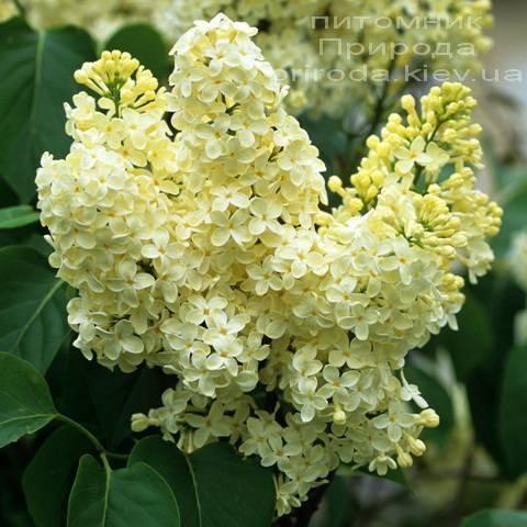 Сирень обыкновенная Праймроуз ( Syringa vulgaris Primrose) ФОТО Питомник растений Природа Priroda (1)