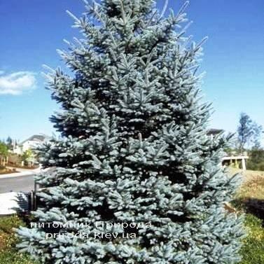 Ялина колюча блакитна Хото (Picea pungens Hoto) ФОТО Розплідник рослин Природа / Priroda (51)