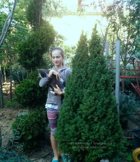 Ялина канадська Коніка (Picea glauca Conica) ФОТО Розплідник декоративних рослин Природа (107)