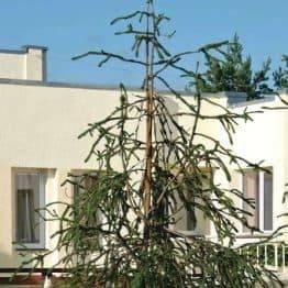 Ялина звичайна Віргата (Picea abies Virgata) ФОТО Розплідник рослин Природа / Priroda (109)