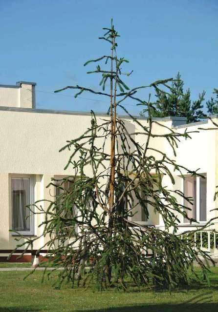 Ель обыкновенная Виргата (Picea abies Virgata) ФОТО Питомник растений Природа/Priroda (109)