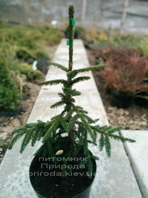 Ель восточная Ауреоспиката (Picea orientalis Aureospicata) ФОТО Питомник растений Природа/Priroda (54)