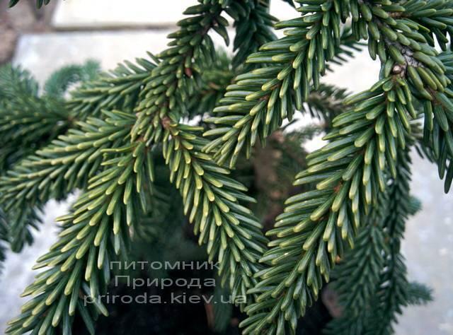 Ель восточная Ауреоспиката (Picea orientalis Aureospicata) ФОТО Питомник растений Природа/Priroda (55)