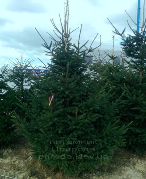 Ялина звичайна (європейська) (Pisea abies) ФОТО Розплідник декоративних рослин Природа (94)