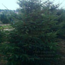 Ель обыкновенная (европейская) (Pisea abies) ФОТО Питомник декоративных растений Природа (95)