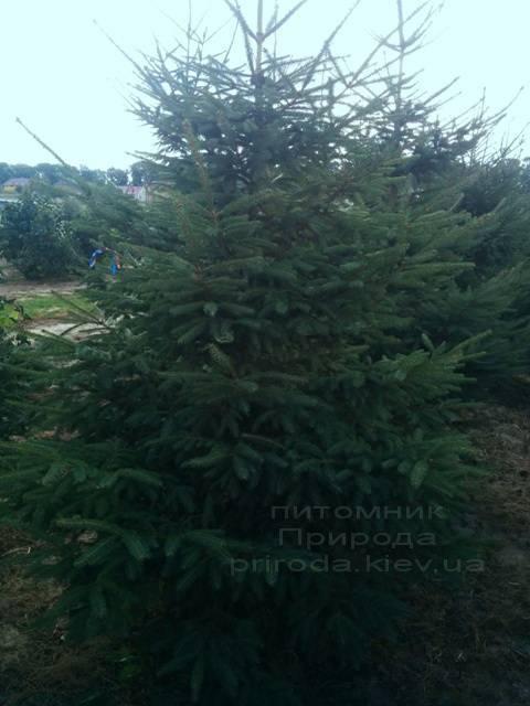 Ялина звичайна (європейська) (Pisea abies) ФОТО Розплідник декоративних рослин Природа (95)