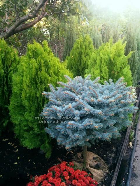 Ель колючая голубая Глаука Глобоза (Picea pungens Glauca Globosa) на штамбе ФОТО Питомник растений Природа/Priroda (46)
