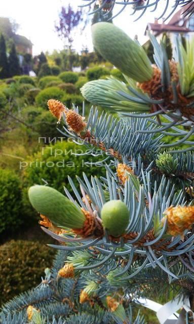 Ель колючая голубая Хупси (Picea pungens Hoopsi) ФОТО Питомник растений Природа/Priroda (33)