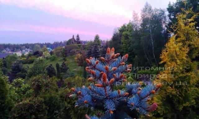 Ель колючая голубая Хупси (Picea pungens Hoopsi) ФОТО Питомник растений Природа/Priroda (31)