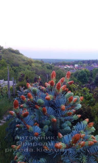 Ель колючая голубая Хупси (Picea pungens Hoopsi) ФОТО Питомник растений Природа/Priroda (32)