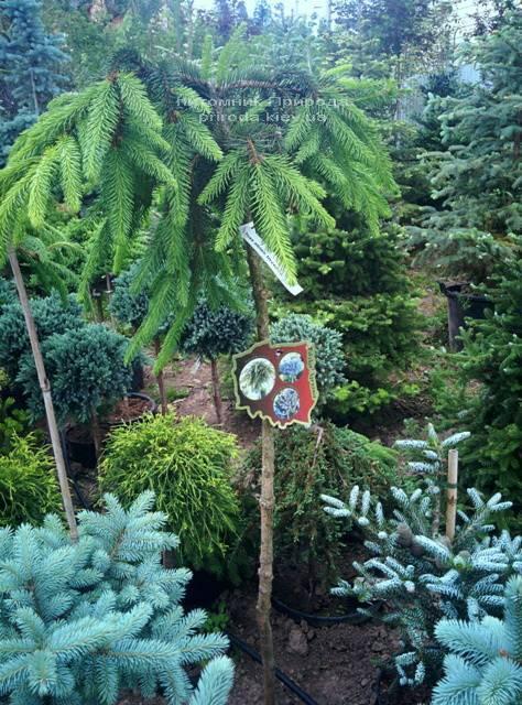 Ель обыкновенная Инверса (Picea abies Inversa) на штамбе ФОТО Питомник декоративных растений Природа / Priroda (112)