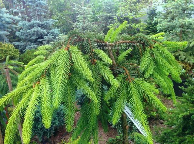 Ель обыкновенная Инверса (Picea abies Inversa) на штамбе ФОТО Питомник декоративных растений Природа / Priroda (114)