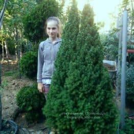 Ялина канадська Коніка (Picea glauca Conica) ФОТО Розплідник декоративних рослин Природа (102)