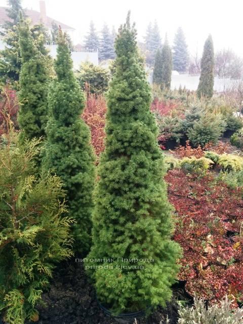 Ялина канадська Коніка (Picea glauca Conica) ФОТО Розплідник декоративних рослин Природа (104)