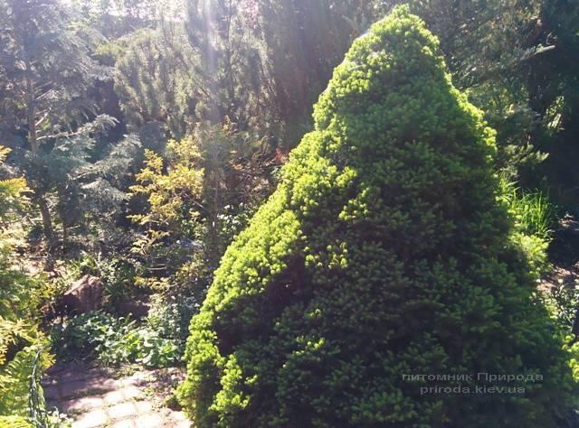 Ель канадская Коника (Picea glauca Conica) ФОТО Питомник растений Природа / Priroda (108)