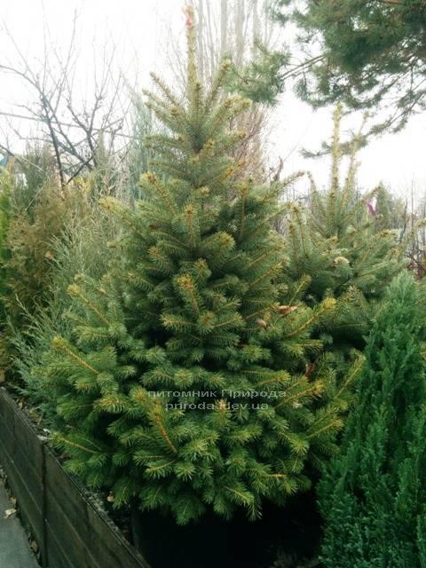 Ель колючая зелёная Глаука (Picea pungens Glauca) ФОТО Питомник растений Природа/Priroda (60)