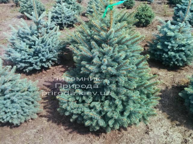 Ель колючая зелёная Глаука (Picea pungens Glauca) ФОТО Питомник растений Природа/Priroda (82)