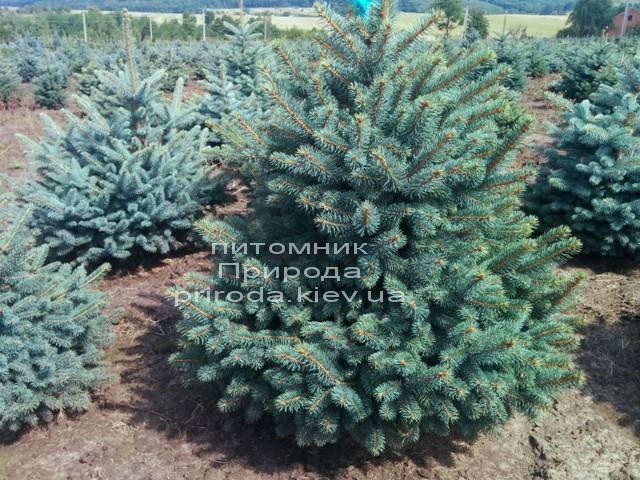 Ель колючая зелёная Глаука (Picea pungens Glauca) ФОТО Питомник растений Природа/Priroda (79)