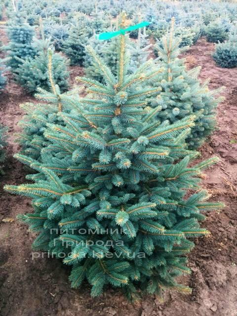 Ель колючая зелёная Глаука (Picea pungens Glauca) ФОТО Питомник растений Природа/Priroda (77)