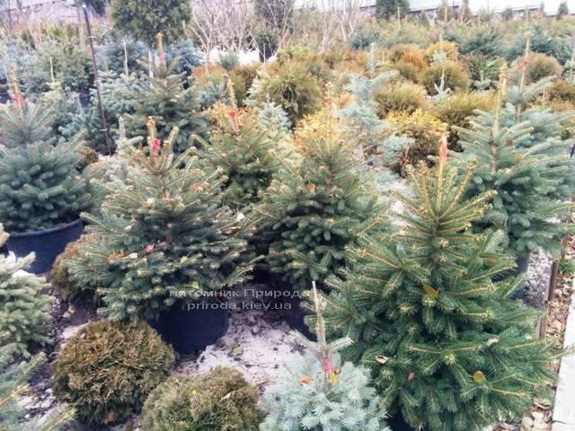 Ель колючая зелёная Глаука (Picea pungens Glauca) ФОТО Питомник растений Природа/Priroda (66)