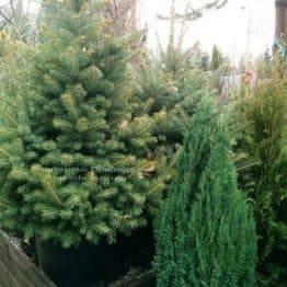Ялина колюча зелена Глаука (Picea pungens Glauca) ФОТО Розплідник рослин Природа / Priroda (69)