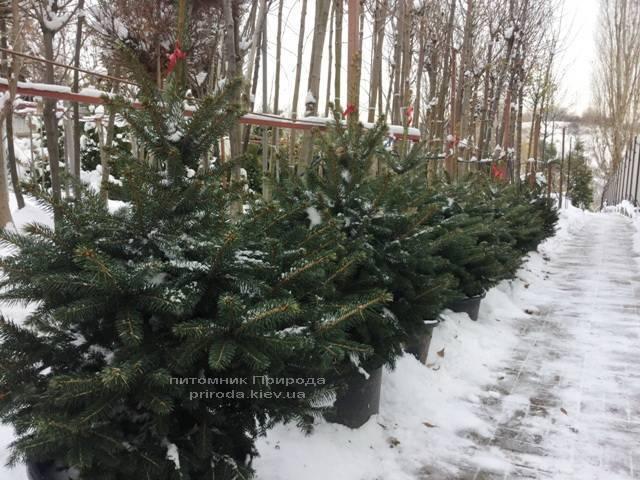Ель колючая зелёная Глаука (Picea pungens Glauca) ФОТО Питомник растений Природа/Priroda (72)