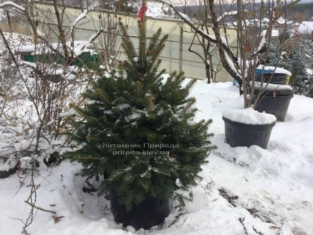 Ель колючая зелёная Глаука (Picea pungens Glauca) ФОТО Питомник растений Природа/Priroda (74)