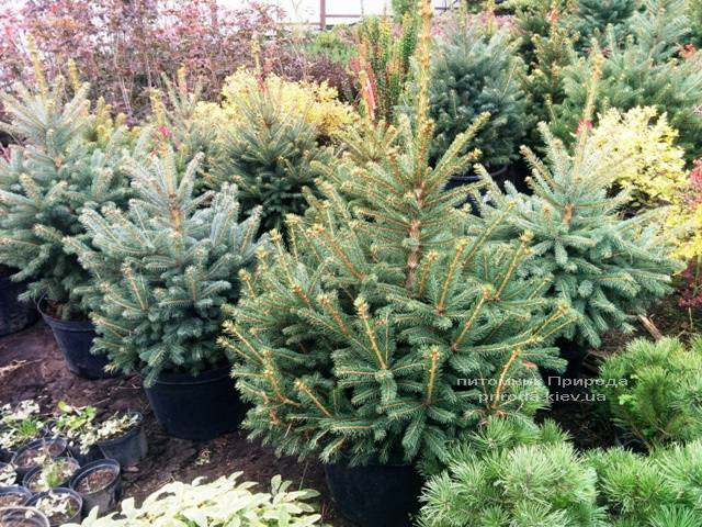 Ель колючая зелёная Глаука (Picea pungens Glauca) ФОТО Питомник растений Природа/Priroda (65)