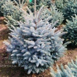 Ель колючая голубая Глаука (Picea pungens Glauca) ФОТО Питомник растений Природа/Priroda (21)