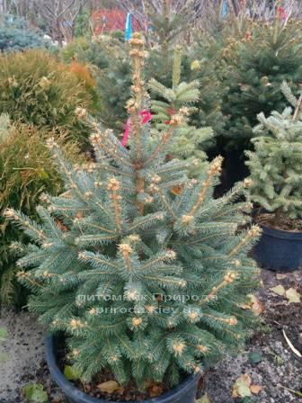 Ель колючая зелёная Глаука (Picea pungens Glauca) ФОТО Питомник растений Природа/Priroda (88)