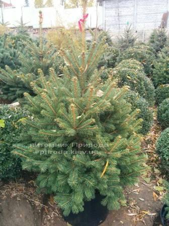 Ель колючая зелёная Глаука (Picea pungens Glauca) ФОТО Питомник растений Природа/Priroda (89)