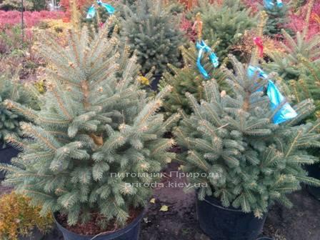 Ель колючая зелёная Глаука (Picea pungens Glauca) ФОТО Питомник растений Природа/Priroda (81)