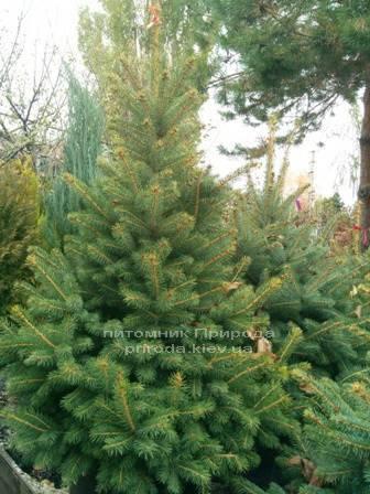 Ель колючая зелёная Глаука (Picea pungens Glauca) ФОТО Питомник растений Природа/Priroda (90)
