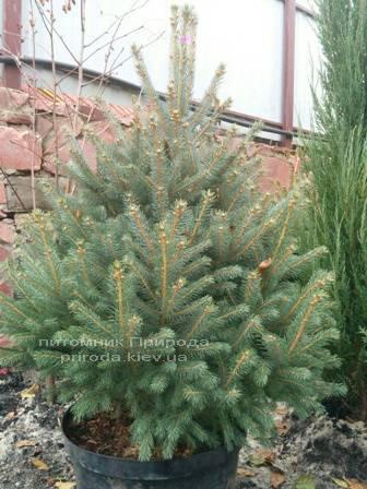 Ель колючая зелёная Глаука (Picea pungens Glauca) ФОТО Питомник растений Природа/Priroda (78)