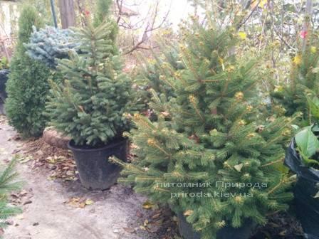 Ель колючая зелёная Глаука (Picea pungens Glauca) ФОТО Питомник растений Природа/Priroda (92)