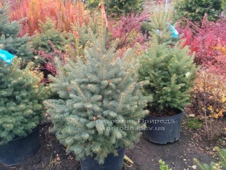 Ель колючая зелёная Глаука (Picea pungens Glauca) ФОТО Питомник растений Природа/Priroda (80)