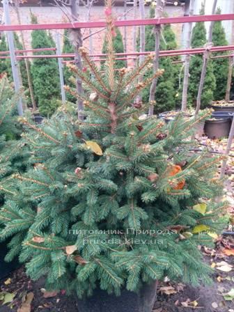 Ель колючая зелёная Глаука (Picea pungens Glauca) ФОТО Питомник растений Природа/Priroda (93)