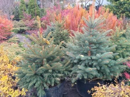 Ель колючая зелёная Глаука (Picea pungens Glauca) ФОТО Питомник растений Природа/Priroda (83)