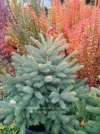 Ель колючая зелёная Глаука (Picea pungens Glauca) ФОТО Питомник растений Природа/Priroda (84)