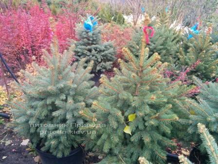 Ель колючая зелёная Глаука (Picea pungens Glauca) ФОТО Питомник растений Природа/Priroda (85)