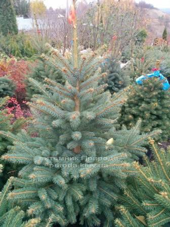 Ель колючая зелёная Глаука (Picea pungens Glauca) ФОТО Питомник растений Природа/Priroda (86)