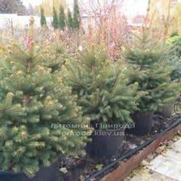 Ялина колюча зелена Глаука (Picea pungens Glauca) ФОТО Розплідник рослин Природа / Priroda (75)