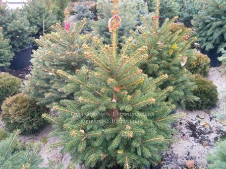 Ель колючая зелёная Глаука (Picea pungens Glauca) ФОТО Питомник растений Природа/Priroda (87)