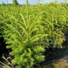Ель обыкновенная/европейская (Pisea abies) ФОТО Питомник декоративных растений Природа (96)