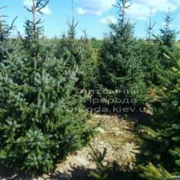 Ель сербская (Picea omorica) ФОТО Питомник декоративных растений Природа (99)